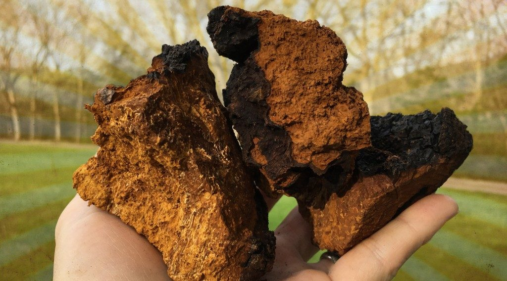 The benefits of chaga.